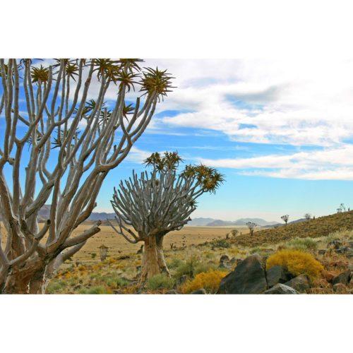 Afrika Köcherbäume