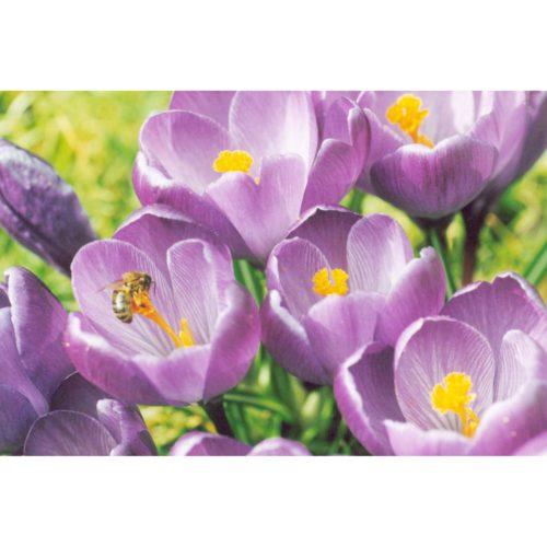 lila Krokus mit Biene