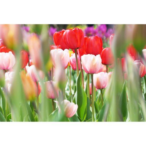 Tulpen rot und rosa