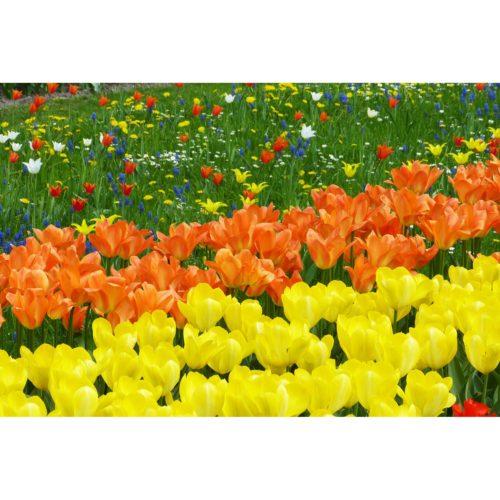Tulpen gelb und orange