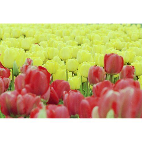 Tulpenfeld gelb und rot