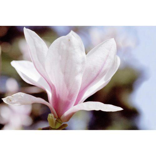 rosa Magnolia