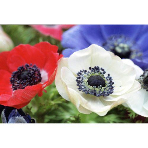 Anemonen weiss rot blau