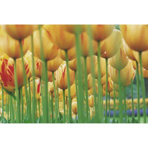 Tulpenfeld gelbrot
