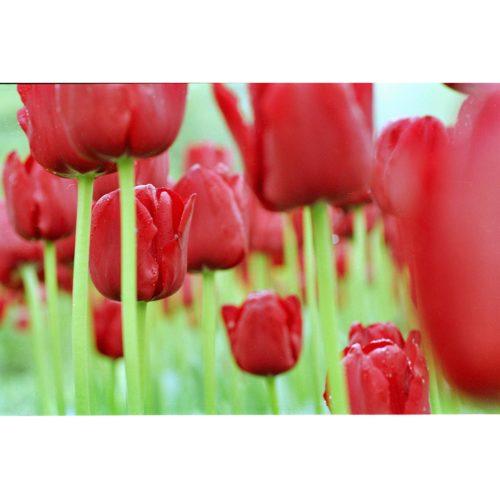 Tulpenfeld rot