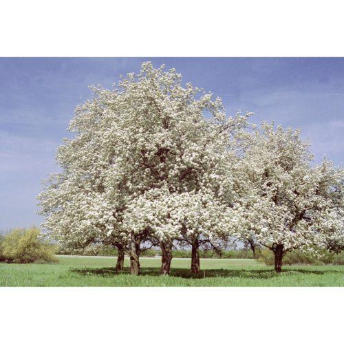 Birnbäume