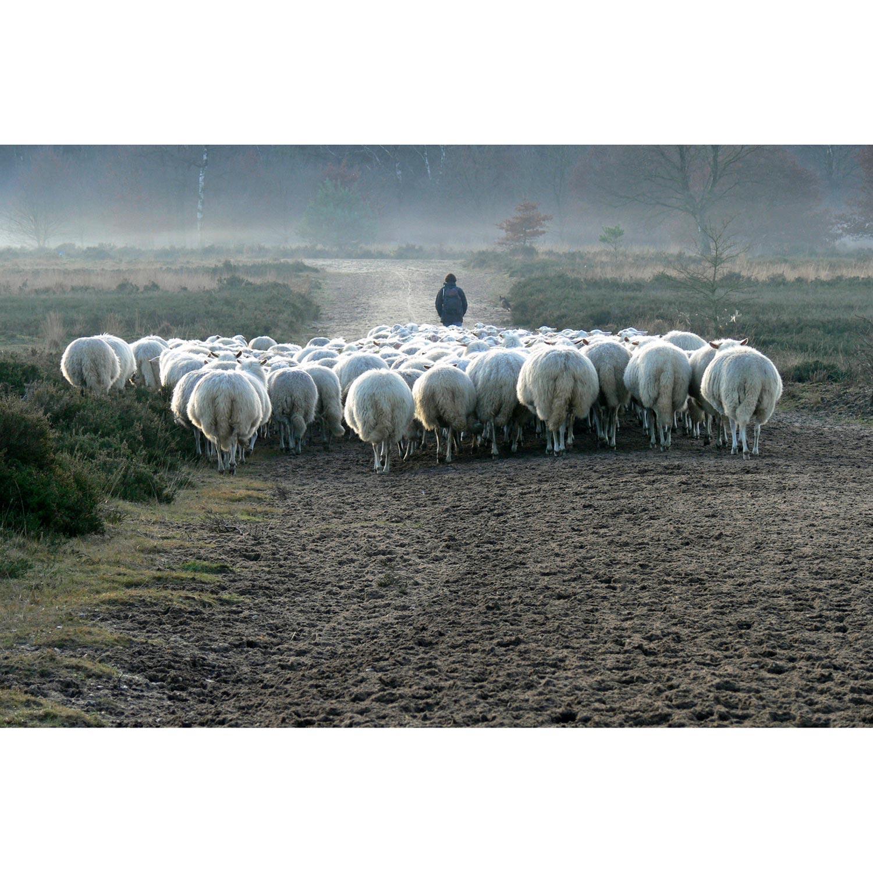 Schafe mit Schäferin