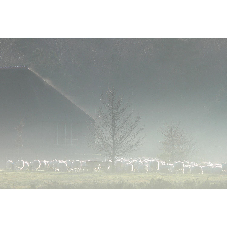 Schafe am Schafstall