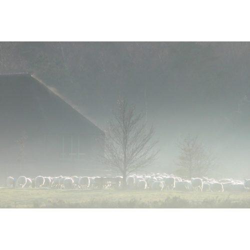 Schafstall mit Schafen