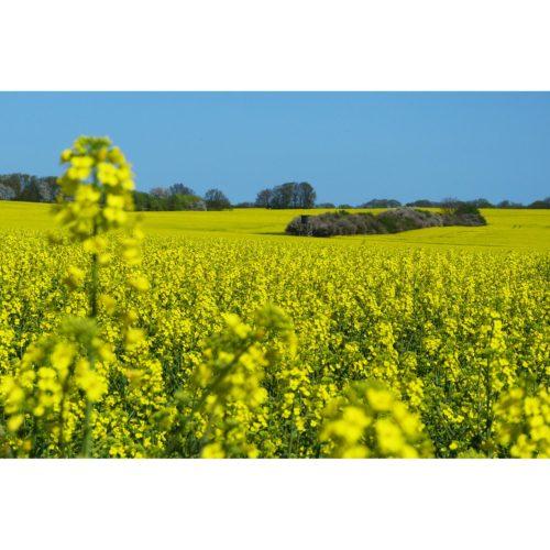 gelb blühendes Rapsfeld