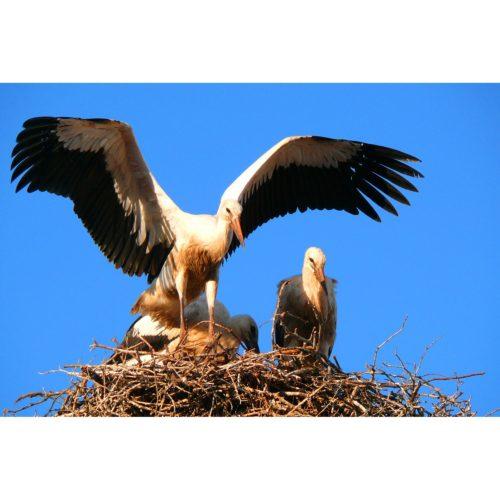 Junge Störche im Nest
