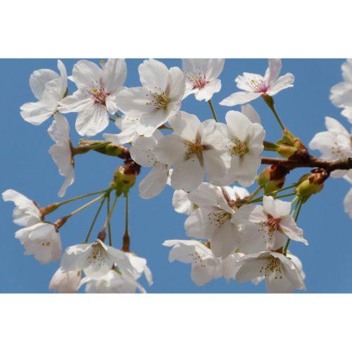 Kirschblüte weiss