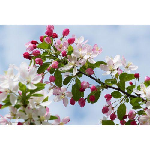 Blüten rosa und weiss