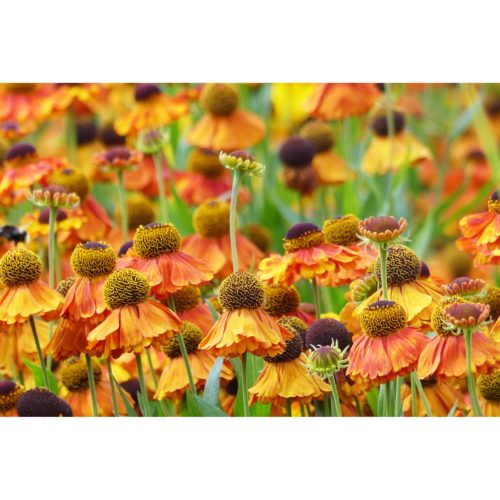 Sommerblumen orange