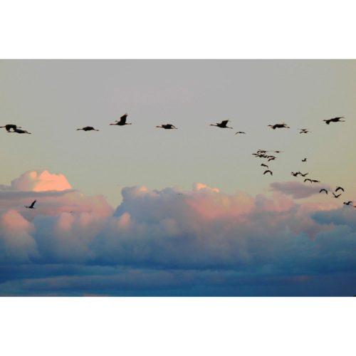 fliegende Kraniche Wolken