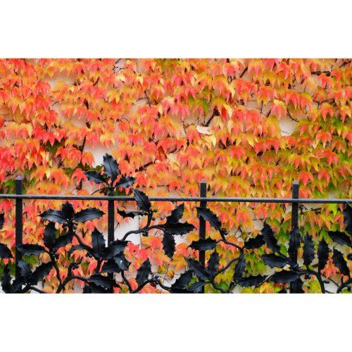 Weinblätter hinter Zaun