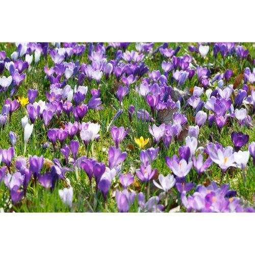 Wiese mit lila und gelben Krokussen