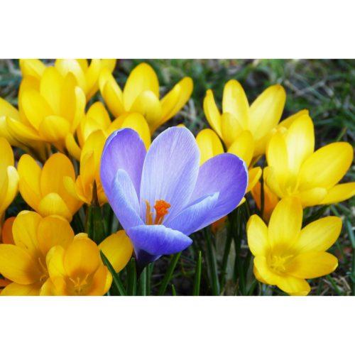 Krokus blau und gelb