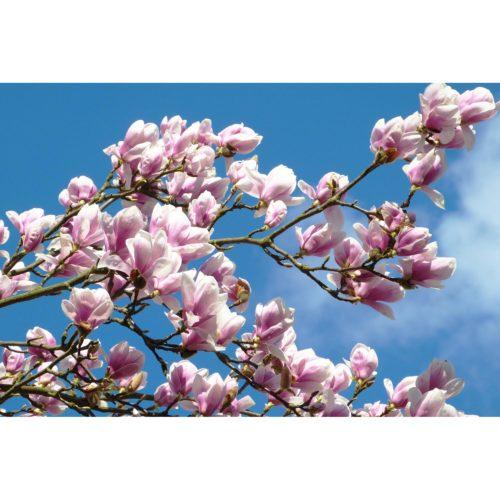 rosa Magnolien