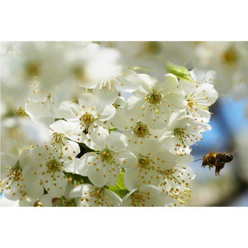 weisse Kirschblüten mit Biene