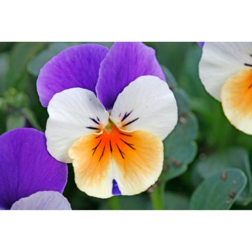 Violen lila gelb weiss