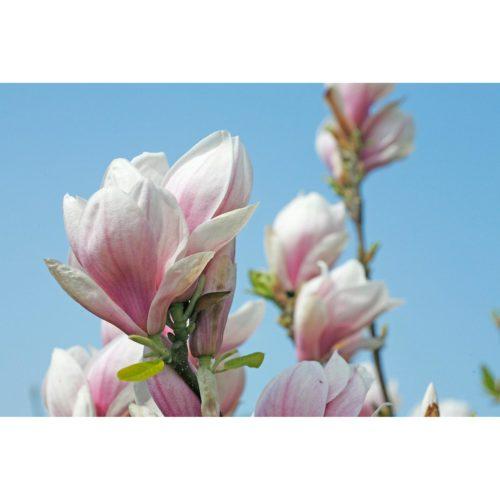 B627 Magnolien