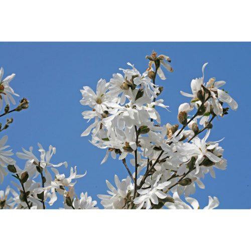 weisse Magnolia