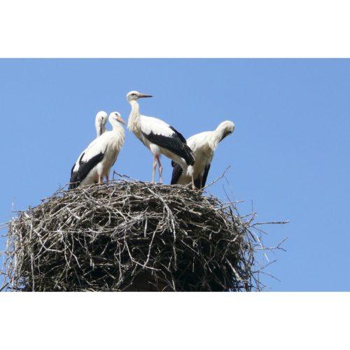 Junge Störche auf Nest