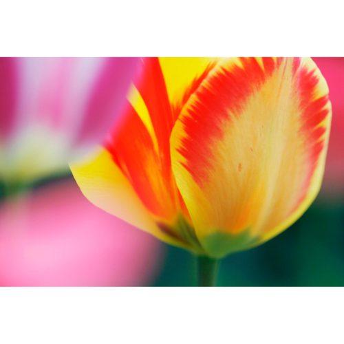 rotgelbe Tulpe