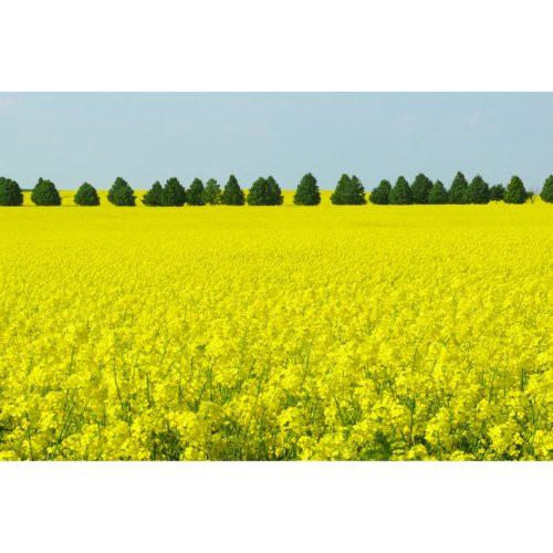 blühendes Rapsfeld mit Bäumen