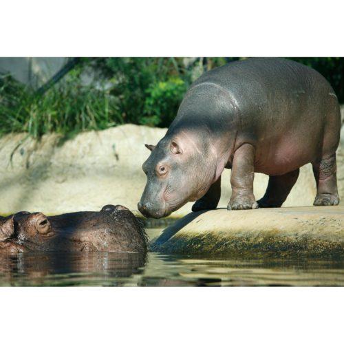 Nashorn Mutter und Kind