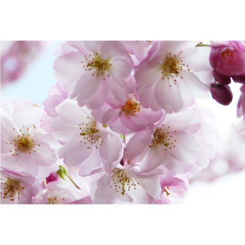 blühende Zierkirsche rosa