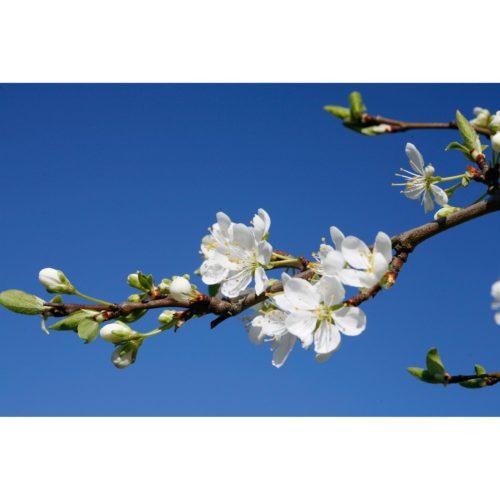 Zweig Apfelblüten