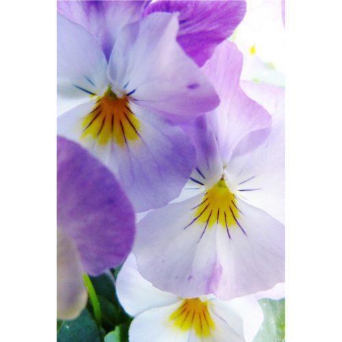 B714a lila Stiefmütterchen