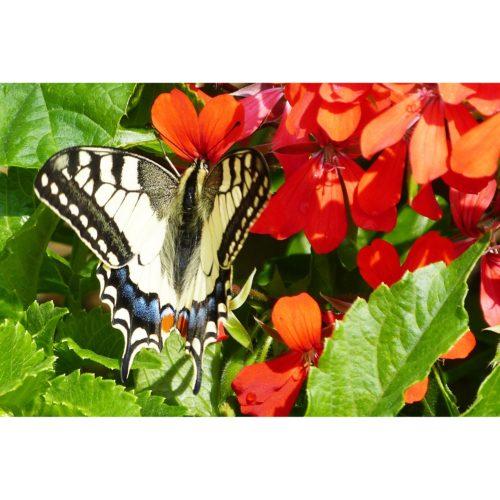 Schwalbenschwanz Schmetterling