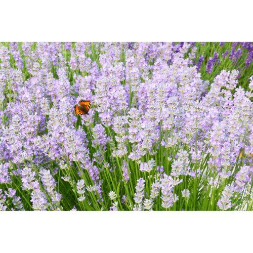 Lavendel mit Fuchsschwanz