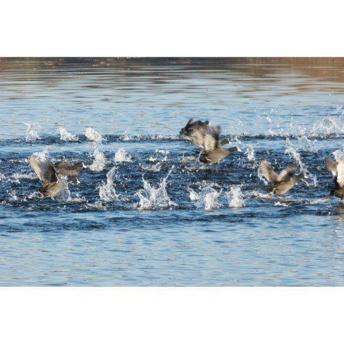 startende Wasservögel