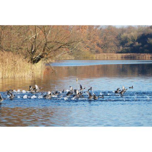 startende Wasservögel am See