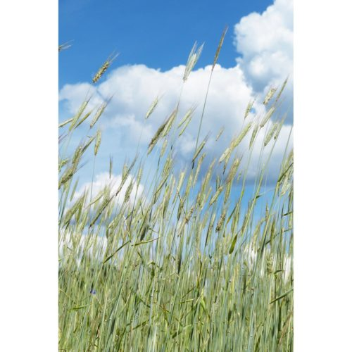 Kornfeld mit Wolken