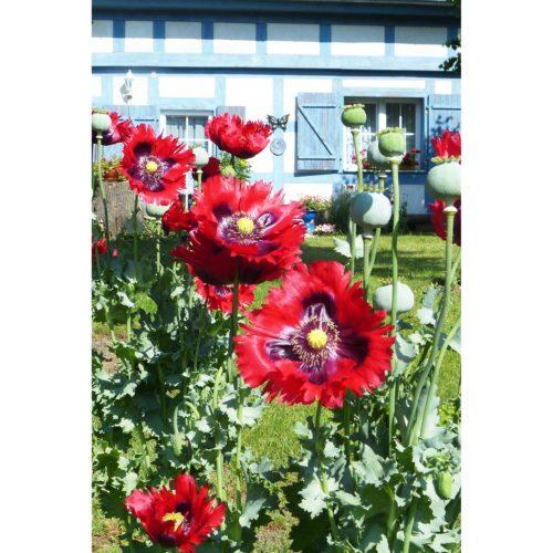 Klatschmohn lila im Garten