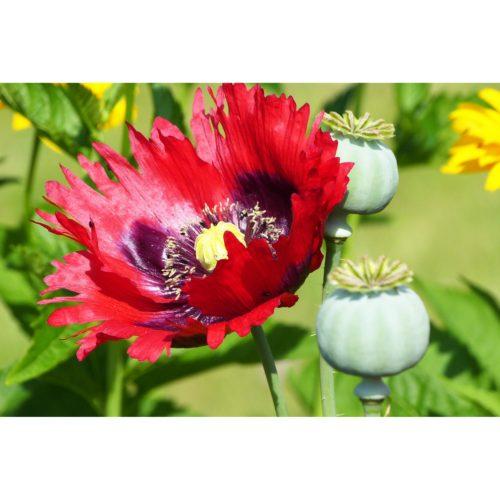 Klatschmohn lila