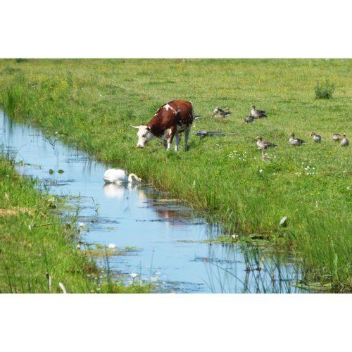 Kuh und Schwan Sommerweise