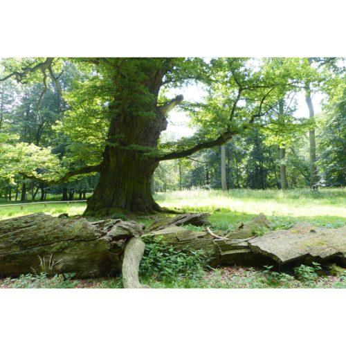 Baum alte Eiche