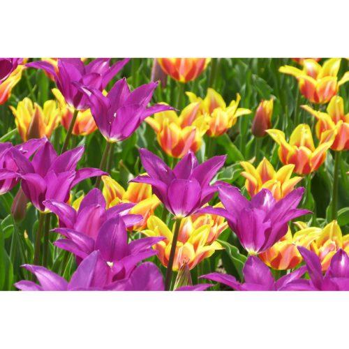 Tulpen lila und gelborange