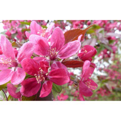 rote Kirschblüten