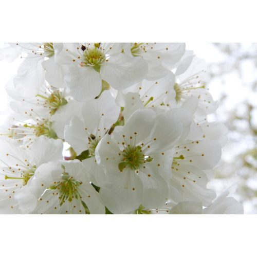 weisse Apfelblüten