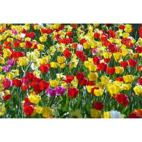 rote Tulpen gelbe Narzissen