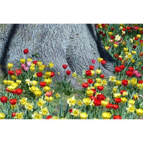 Tulpen und Narzissen mit Baum