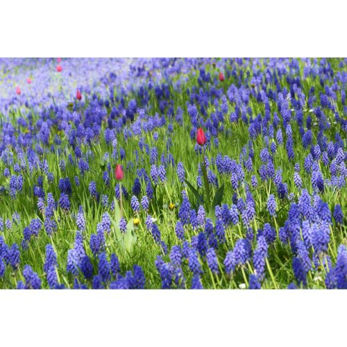 Perlhyacinthen und Tulpen