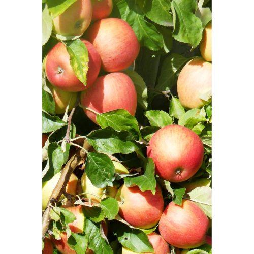 reife Äpfel am Baum